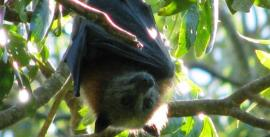 CroppedImage270137-4f14dab3e28c2_757_flying-fox